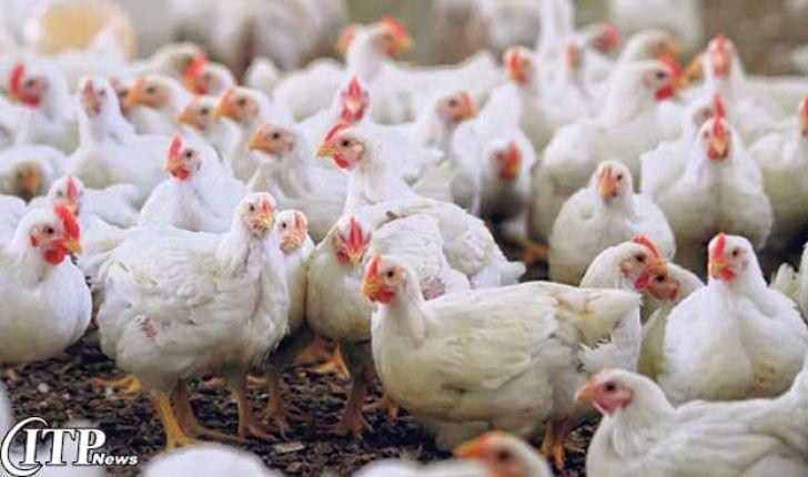 صدور مجوزاستفاده از مرغ تراریخته برای تولید دارو