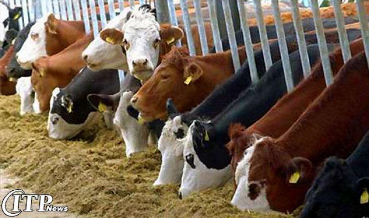 اعتراض دوباره دامداران به ارزان فروشی شیر و واردات گوشت