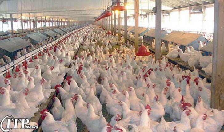عملکرد مرغداریهای گوشتی همدان ارزیابی میشود