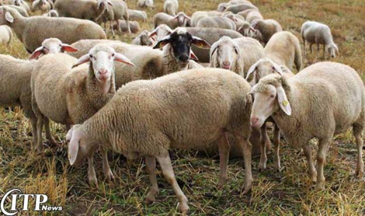 شمار گوسفندان در سال 94 به بیش از 47.9 میلیون راس رسید