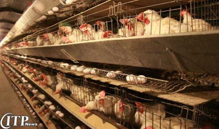 تولید 12 هزار تن گوشت مرغ امسال در استان همدان