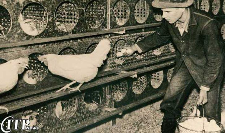 تاریخچه صنعت مرغ تخم گذار