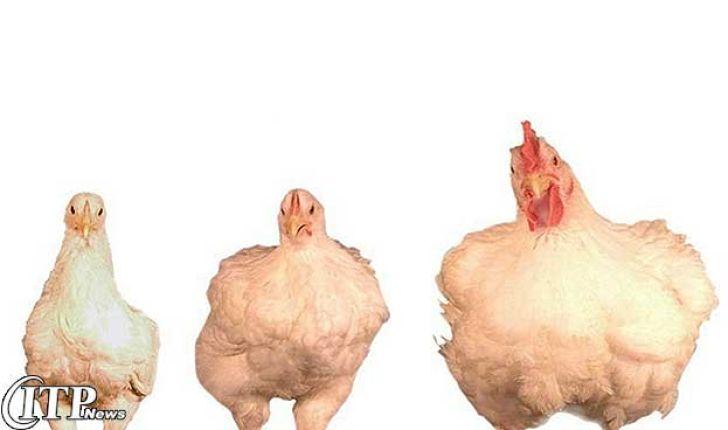 طرح تولید و عرضه مرغ با وزن مناسب در سیرجان اجرا می شود