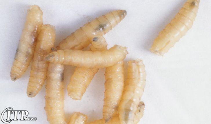 خوراک حشرات برای مادرهای گوشتی در کانادا تایید شد