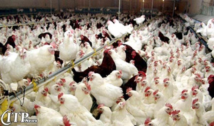 715 واحد مرغ گوشتی با ظرفیت تولید بیش از 14 میلیون قطعه در سال در کردستان