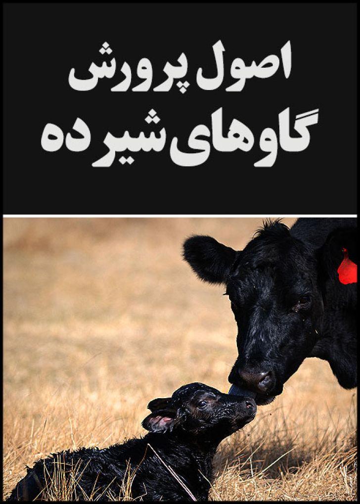 اصول پرورش گاوهای شیرده
