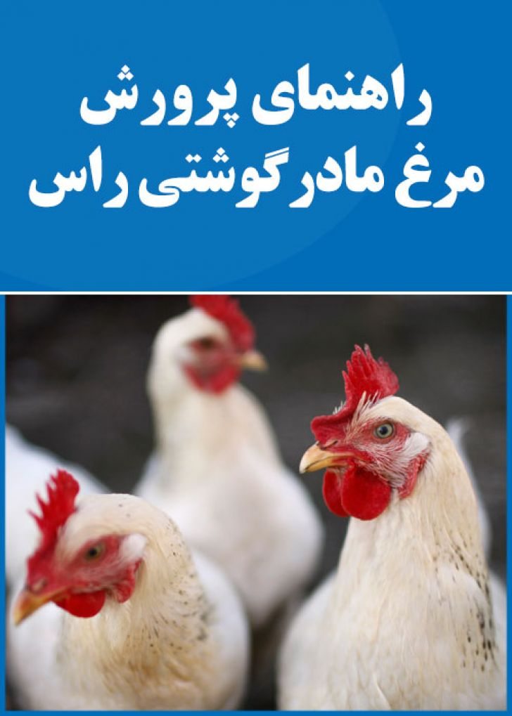 راهنمای پرورش مرغ مادر گوشتی راس