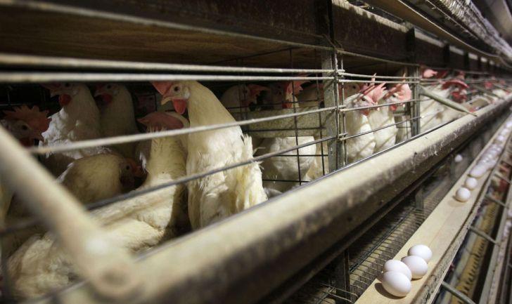 چک لیستی از اقدامات کاربردی امنیت زیستی در برابر آنفلوانزای پرندگان