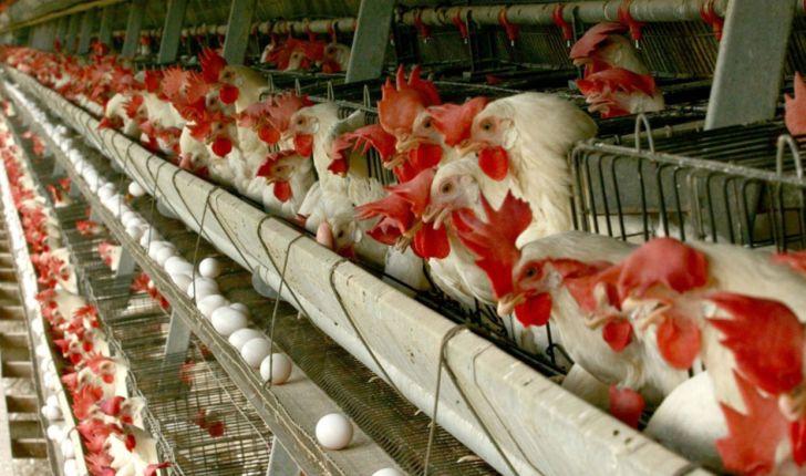 مجوز راه اندازی واحد مرغداری تخم گذار در سمنان ممنوع شد