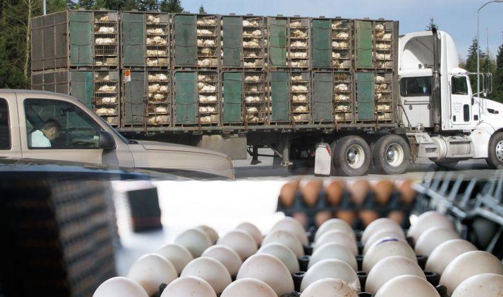 اهمیت حمل و نقل جوجه و تخم مرغ