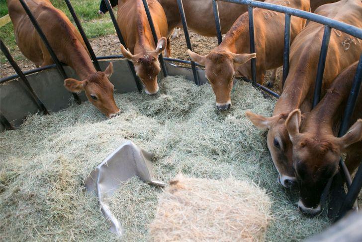 Image result for عکس در مورد غذای گاو