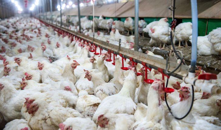 خودکفایی سیستان و بلوچستان در تولید مرغ و تخم مرغ