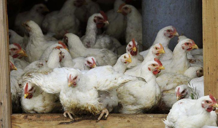گیلان از استانهای پیشتاز تولیدکننده مرغ بدون آنتی بیوتیک
