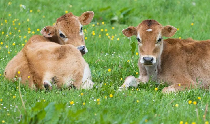 برای مبارزه با اسهال در گوساله ها روی کلستروم فکر کنید نه آنتی بیوتیک ها