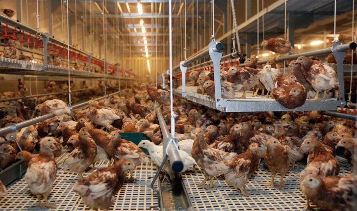 پرورش مرغهای رنگی عامل اصلی شیوع آنفلوانزای فوق حادپرندگان است