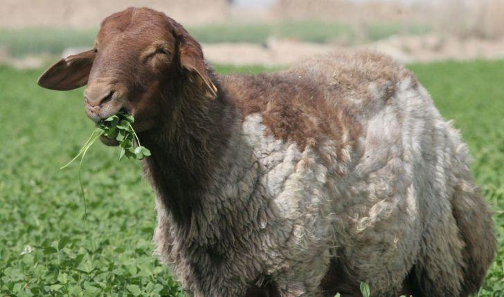 شناسایی ژنهای کلیدی در بافتهای زیر پوستی چربی و ماهیچه گوسفند