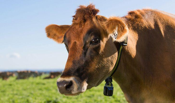 باردار شدن دوباره گاوها بعد از 82 روز
