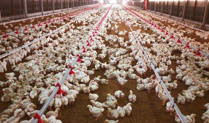 ترکیه هشتمین تولید کننده بزرگ مرغ در جهان