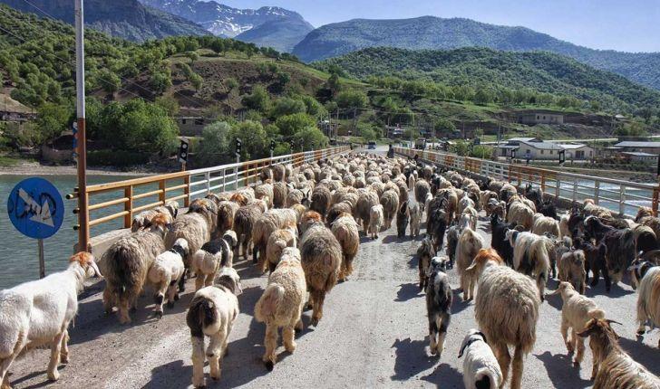عشایر استان 58 هزار تن گوشت و لبنیات تولید کردند