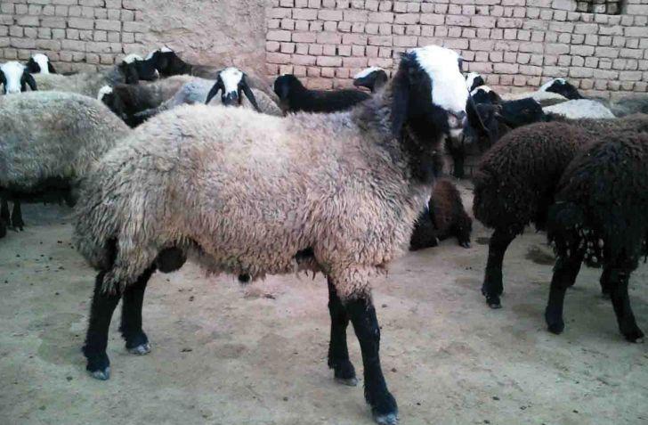گوسفند دنبه دار نژاد فراهانى