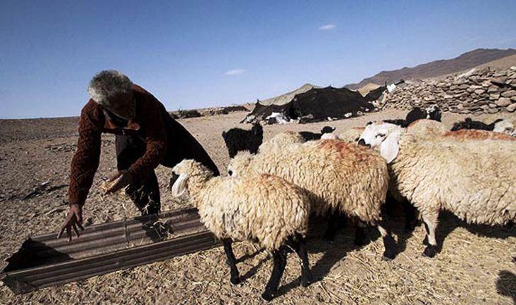 مزایای پرورش گوسفند فراهانی