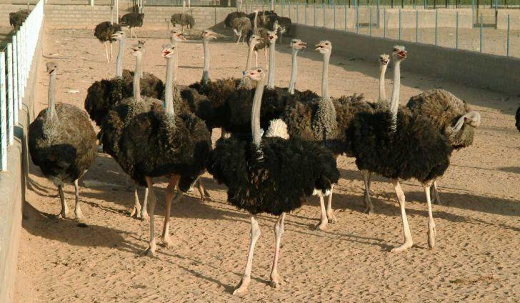 وجود بزرگترین مرکز پرورش شترمرغ خاورمیانه در ورامین